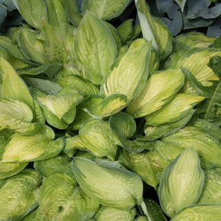 Funkie Gold Standard, Hosta, Unterbepflanzung, Schattenpflanze