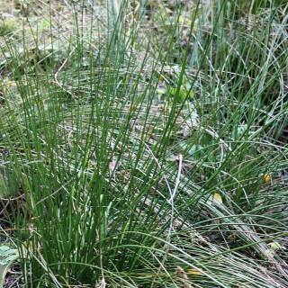 Binse, Juncus, Uferbepflanzung, Sumpfpflanze