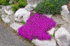 Steingarten Bepflanzen - Hier finden Sie passende Pflanzen