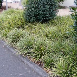 Teppichjapansegge Icedance, Segge, Ziergras, Carex