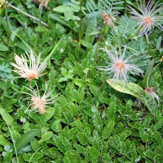 Silberwurz, Steingartenpflanze, Alpine Pflanze