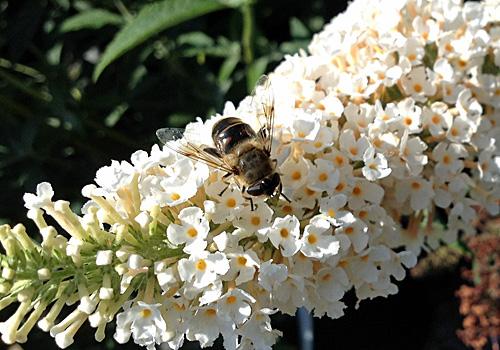 Nuetzlinge-Wildbienen