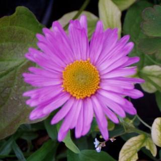 Alpen Aster Happy End, Blütenstaude, Frühjahr