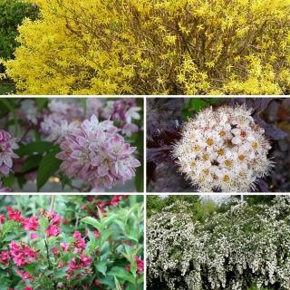 Vorschau: 5 Sträucher für eine Blütenhecke