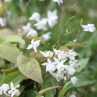 Elfenblume Niveum, Epimedium, Schattenpflanze