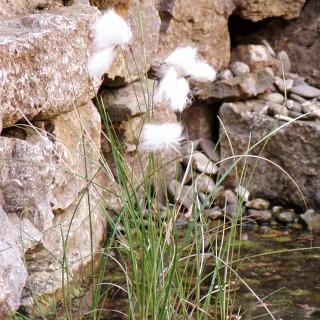 Wollgras, Uferpflanze, Wasserpflanze