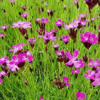Kartäusernelke, Nelke, Blütenpflanze