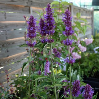 Duftnessel Blue Boa, Duftpflanze, Bienenweide