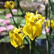 Wasseriris, Iris, Wasserpflanze