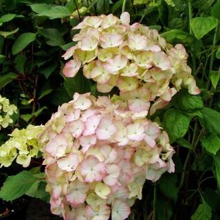 Hortensie Preziosa, Hydrangea, Blütenstrauch