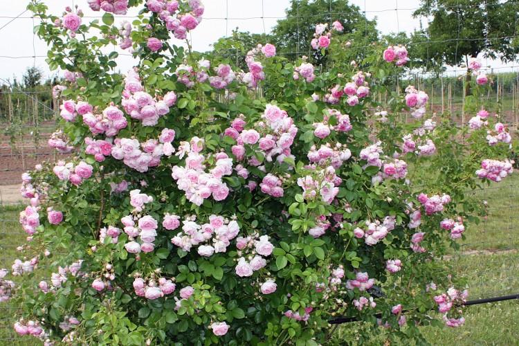Pflanzen für den Rosengarten