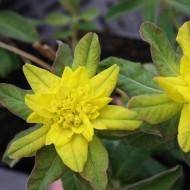 Gold Wolfsmilch, Goldwolfsmilch, Beetpflanze