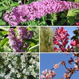 Vorschau: 5 Duftgehölze für Ihren Garten