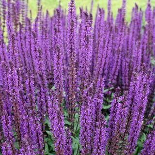 Salbei, Salvia Caradonna, Bienenweide