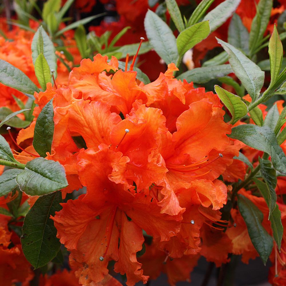 sommergr ner rhododendron luteum 39 gibraltar 39 native plants. Black Bedroom Furniture Sets. Home Design Ideas
