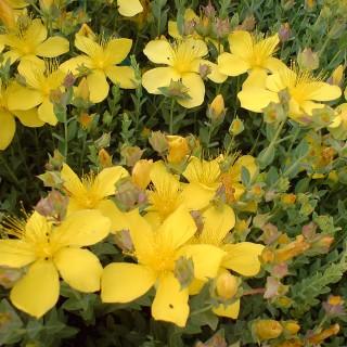 Polster Johanniskraut, Blütenstaude, Heilpflanze