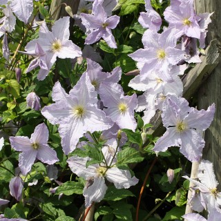 Clematis viticella Blue Angel