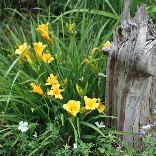 Taglilie Stella de Oro, Hemerocallis, Blütenstaude