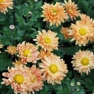 Winteraster Kleiner Bernstein, Herbstblüher, Blütenstaude