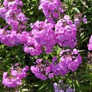 Wiesenphlox Alpha, Phlox, Blütenstaude