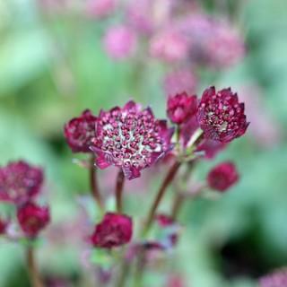 Sterndolde, Schattenpflanze, Bienenweide