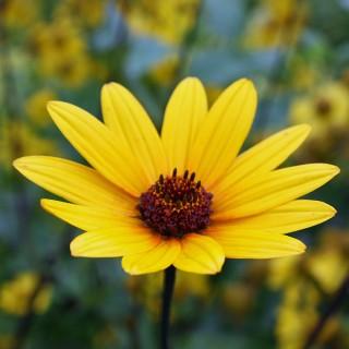 Sonnenauge Summer Nights, Heliopsis, Schnittblume