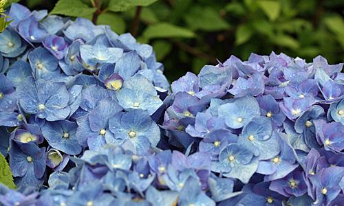 Bauernhortensie mit blauen Blüten