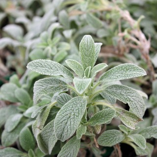 Griechischer Bergtee, Sideritis, Teepflanze