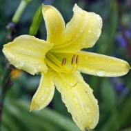 Taglilie, Hemerocallis, Blütenstaude