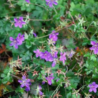 Sibirischer Storchschnabel, Bodendecker, Blütenpflanze