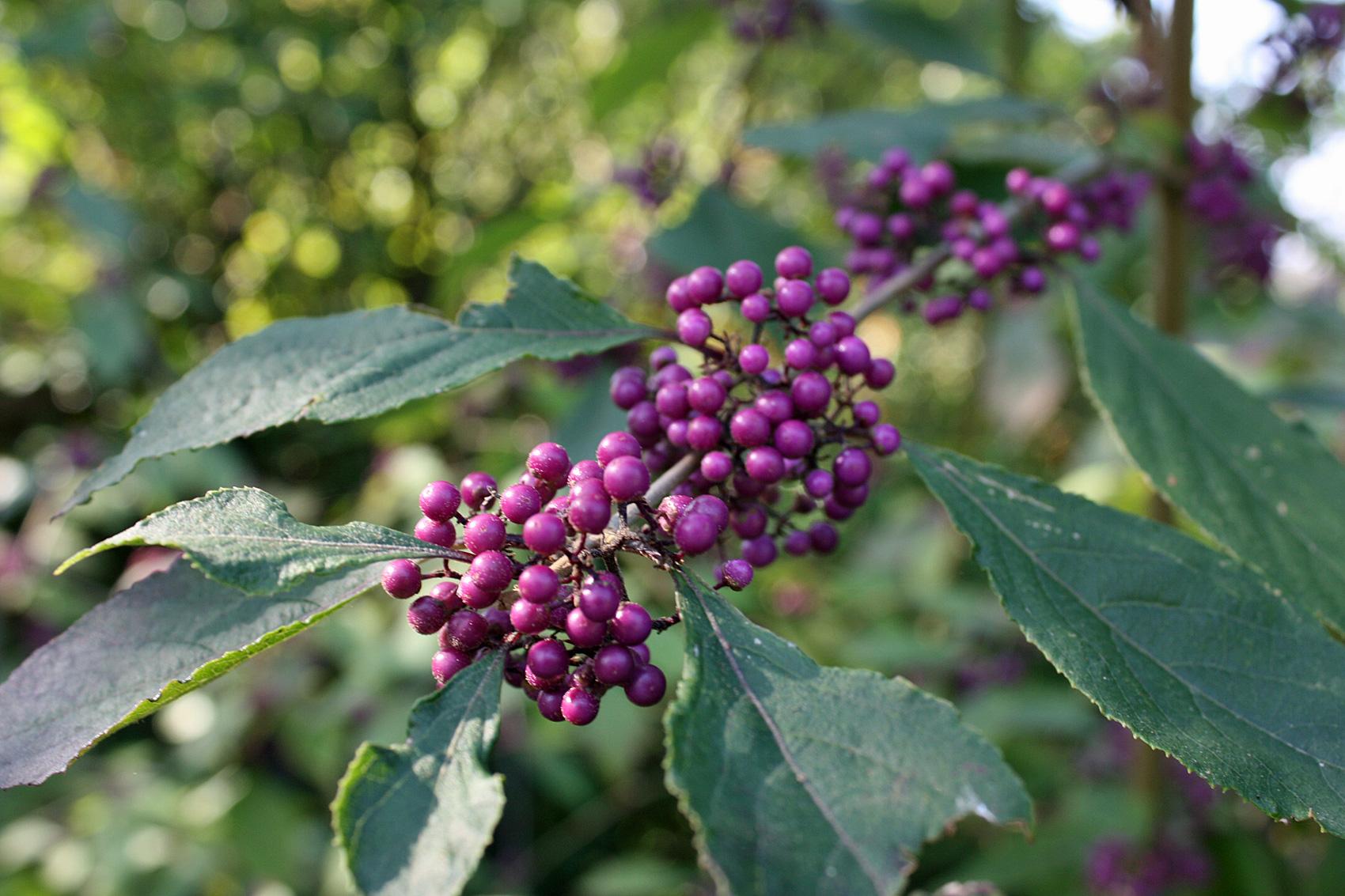 Sträucher, Büsche und Bäume mit Fruchtschmuck   Native Plants