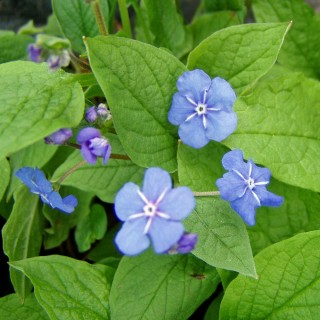 Gedenkemein, Omphalodes, Frühjahrsblüher