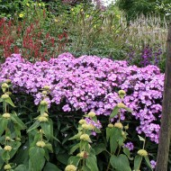 Phlox, Blütenpflanze, Beet