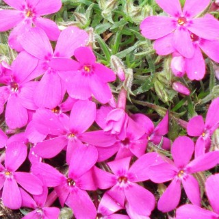 Polsterphlox 'Crackerjack'