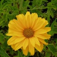 Sonnenauge Sommersonne, Heliopsis, Schnittblume