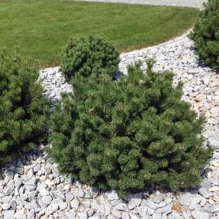 Kiefer, Krummholzkiefer, Pinus, Gehölz immergrün