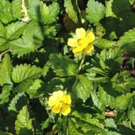 Frühlingsfingerkraut, Fingerkraut, Potentilla, Blütenpflanze