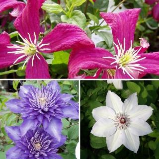 Clematis Blütentraum