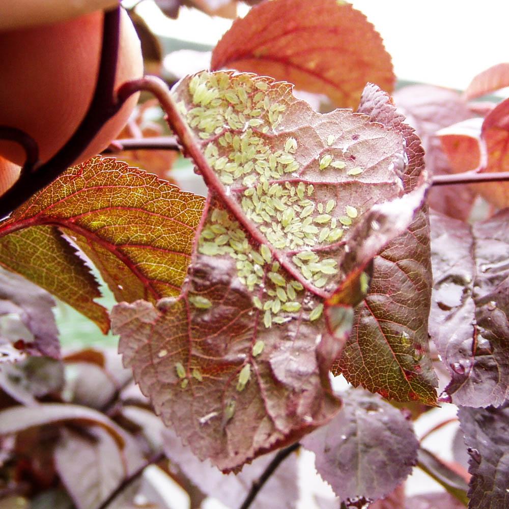 Lausbefall-Prunus-ws