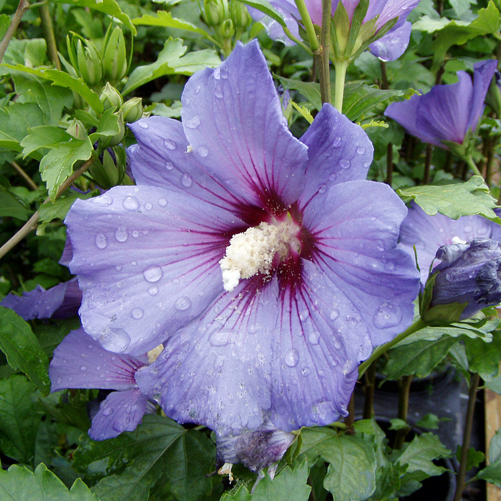 Hibiskus Blue Bird Syn Garteneibisch Hibiscus Syriacus Blue