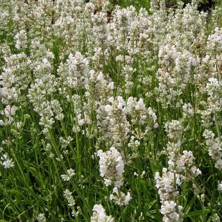 Lavendel Edelweiß, Lavandula, Bienenweide, Duftpflanze