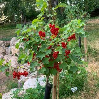 Stämmchen Rote Johannisbeere 'Rovada'