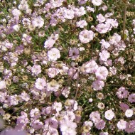 Polsterschleierkraut, Schleierkraut Rosenschleier, Blütenpflanze