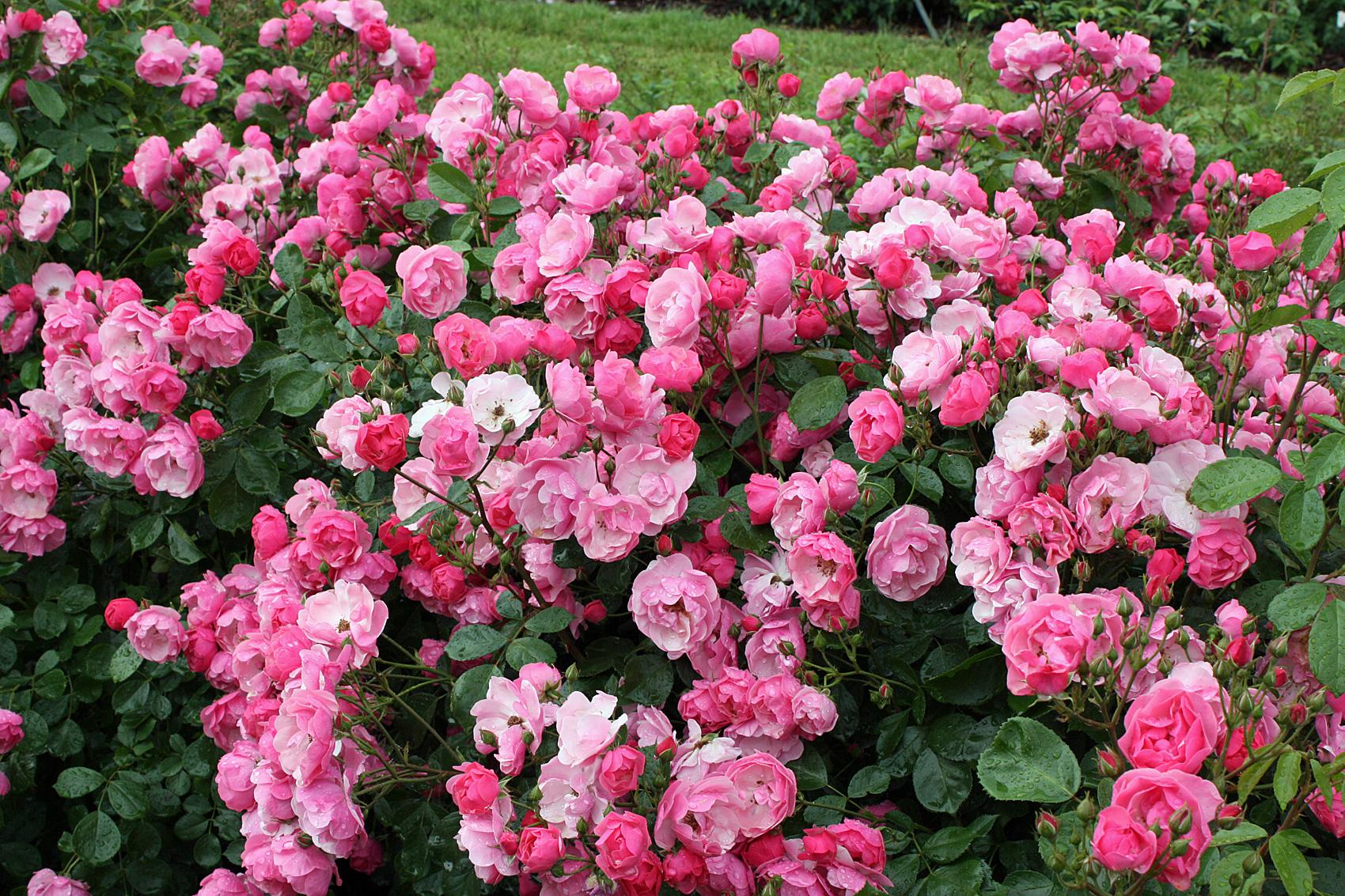 rosen und stauden kombinieren weil rosen tiefe bden in. Black Bedroom Furniture Sets. Home Design Ideas
