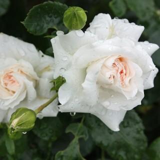 Bodendeckerrose Aspirin, Rose, Schnittblume