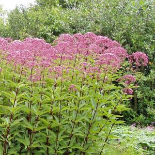Gewöhnlicher Wasserdost, Heilpflanzen, Schmetterlinge, Bienen