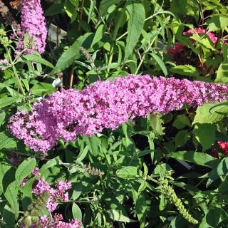 Sommerflieder Pink Delight, Buddleja, Bienenweide,