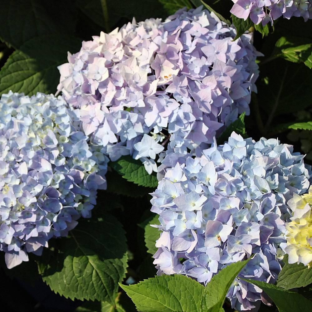 Hortensie everbloom blue wonder hydrangea blütenstrauch