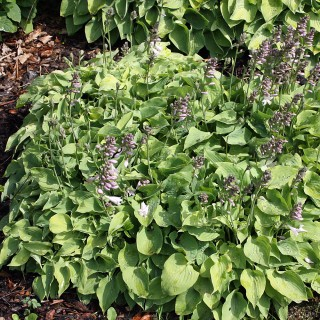 Funkie Gold Drop, Hosta, Schattenpflanze