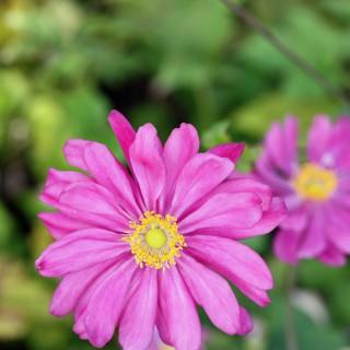 Herbstanemone Prinz Heinrich, Anemone, Herbstblüher